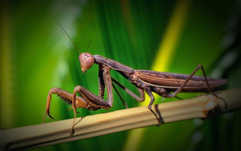 Pequeñas Mascotas: Mantis