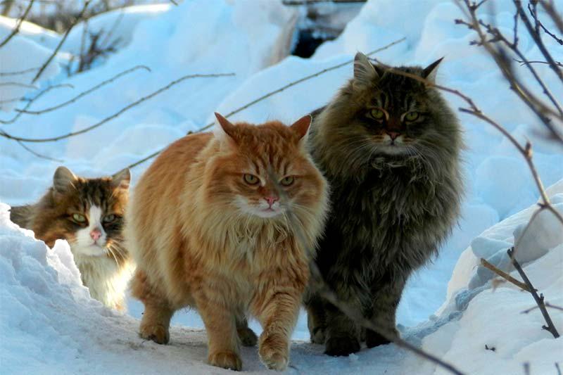 ¿Conoces el gato llamado bosque de Noruega? - TOP aul@ Salud
