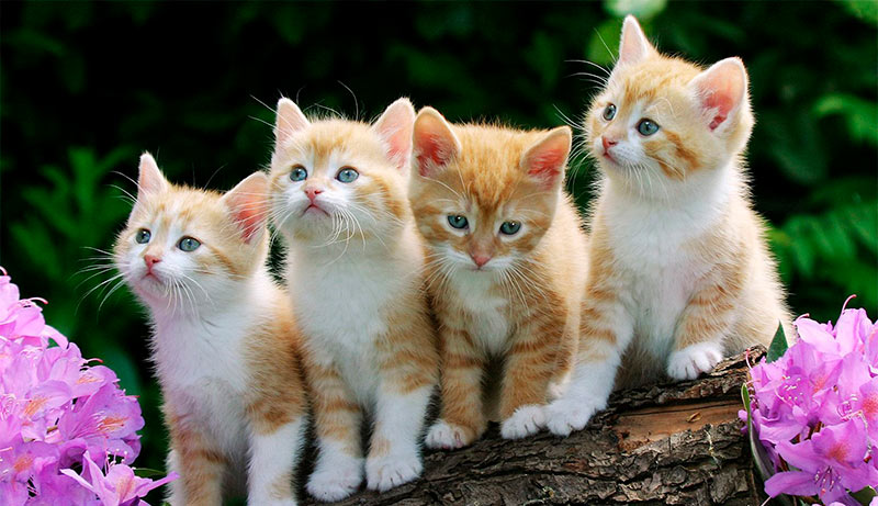 Curiosidades de los gatos - TOP aul@ Salud Veterinaria