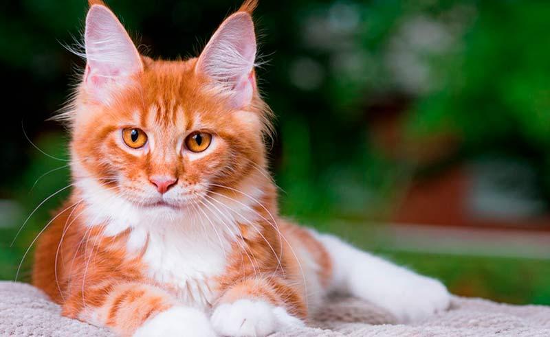 ¿Por qué vacunar a mi gato? TOP aul@ Salud