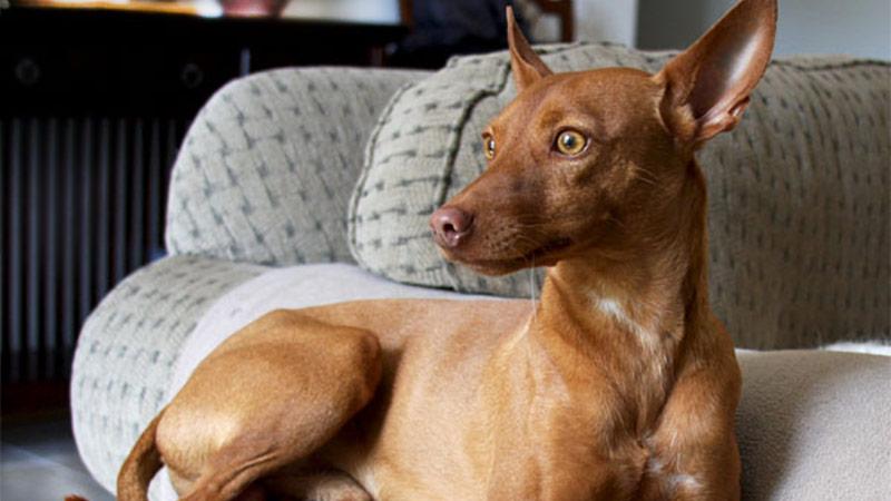 ¿El podenco un perro de compañía? - TOP aul@ Salud
