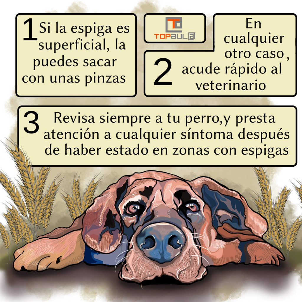 Infografia ¿Conoces los peligros de las espigas para tu perro? - www.topaulasalud.com