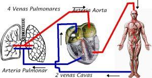 Sistema circulatorio - TOP aul@